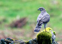 Goshawk (Female)