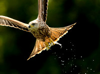 Red Kite with Fish
