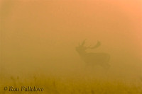 Fallow Deer (Dama dama), misty sunrise