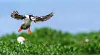 Atlantic Puffin - 4 (Fratercula arctica)